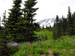 Cloudy Mt. Rainier with Wildflowers (svandagr) Tags: travel trees wild animal washington nationalpark outdoor hiking heather trail mountrainier marmot marmots