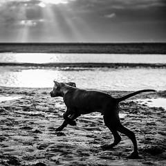 Adventure here I come! (Frank Busch) Tags: ocean sea dog beach netherlands monochrome blackwhite denhaag eveninglight rayoflight kijkduin frankbusch wwwfrankbuschname photobyfrankbusch frankbuschphotography imagebyfrankbusch wwwfrankbuschphoto