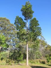 Agathis robusta 3 (barryaceae) Tags: bootawa new south wales australia australianrainforestplant ausrfp agathis robusta queensland kauri pine araucariaceae