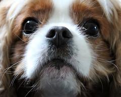 scruff (Bogart Cat) Tags: browndog chaplin kingcharlescavalier brownandwhitedog