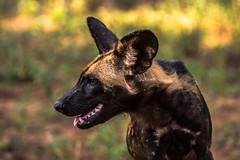 Wildhund (sergei.ribant) Tags: africa wild dog animal kenya african wildlife hunting safari hund afrika kenia tsavo wilddog savanne wildhund