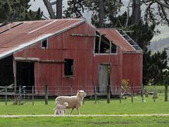 Old barn and sheep (Home Land & Sea) Tags: old newzealand barn spring sheep nz lamb pointshoot sonycybershot porangahau centralhawkesbay homelandsea dschx100v