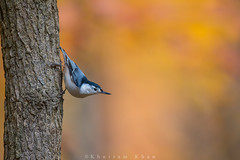 One for fall (Khurram Khan...) Tags: nature ilovenature nikon wildlife nj nikkor whitebreastednuthatch songbirds wildlifephotography ilovewildlife khurramkhan