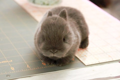2 weeks old (Craf'it Cakes) Tags: pet baby cute rabbit bunny purebred netherlanddwarfrabbit