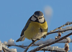 Blue tit / Blmeis (Kjersti Nybakke) Tags: blue winter wild snow bird nature animal norway outside outdoors frost outdoor wildlife bluetit cyanistescaeruleus blmeis sndreland kjerstinybakke