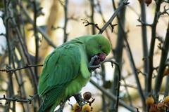 Lekker fruit Explore 20151126 (Olga and Peter) Tags: nederland thenetherlands parakeet diemen halsbandparkiet fp1090465