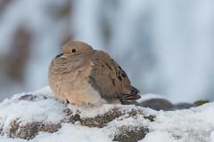Blob o' pigeon (ExarchIzain) Tags: winter snow cold bird home birds backyard birdbath fluffy mourningdove lakezurich