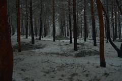 After the Snow Storm (melleus) Tags: park winter snow storm cold nature pine landscape outdoors cool d200 imagemagick dcraw
