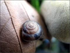 Gentle Touch (Tölgyesi Kata) Tags: csiga snail füvészkert botanikuskert botanicalgarden withcanonpowershota620 autumn dryleaf gomba mushroom animal ősz fungus herbst