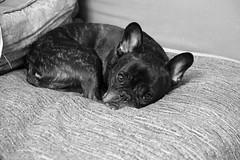 Tripod Test (Lainey1) Tags: bw test dog monochrome oz sleep tripod sigma bulldog couch frenchie frenchbulldog rest ozzy foveon frogdog lainey1 induro zendog foveonsensor indurotripod elainedudzinski dp3m sigmadp3m ozzythefrenchie