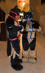 DSC_0061 (Acrufox) Tags: chicago illinois furry midwest december ohare rosemont convention hyatt regency 2014 fursuit furfest fursuiting acrufox mff2014