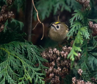 Goldcrest in my garden. Taken through the window....