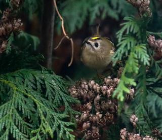 Goldcrest in my garden. Taken through the window....