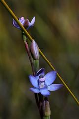 thelymitra atronitida (Kezfoto) Tags: orchid native tasmania threatenedspecies thelymitraatronitida blackhoodedsunorchid
