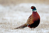 South Dakota Luxury Pheasant Hunt - Gettysburg 71