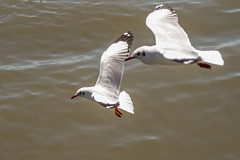 Brown-headed Gull (arnewuensche66) Tags: birds wildlife gull birdsinflight vgel mwe seabirds brownheadedgull larusbrunnicephalus braunkopfmwe