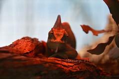Chameleon (mmariopistis) Tags: sardegna red nature beautiful animal amazon sardinia reptile natura tropical chameleon rosso animale camaleonte rettile tropicale amazzonia amazzonica