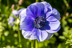 Blue Anemone (AdaMoorePhotography) Tags: blue summer sun flower green garden nikon sunny d7200