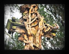 back to nature (LL) Tags: friedhof cemetery graveyard cross pflanzen impressive wurzeln grabkreuz erdrckend umschlungen alterfriedhofbuer