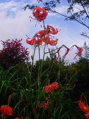 P1010041 (ianharrywebb) Tags: edinburgh iansdigitalphotos flowers flower royalbotanicgardens