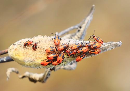 large milkweed bug (Oncopeltus fasciatus) nymphs at Decorah Prairie IA 854A6925