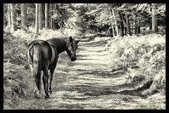 I Tawt I Taw a Puddy Tat.... (Missy2004) Tags: nikkorafs18105mm3556ged newforest mogshade pony blackandwhite explored