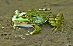 Cuc, cantaba la rana! (Franco DAlbao) Tags: francodalbao dalbao lumix frog batracio verde green prncipe prince agua water