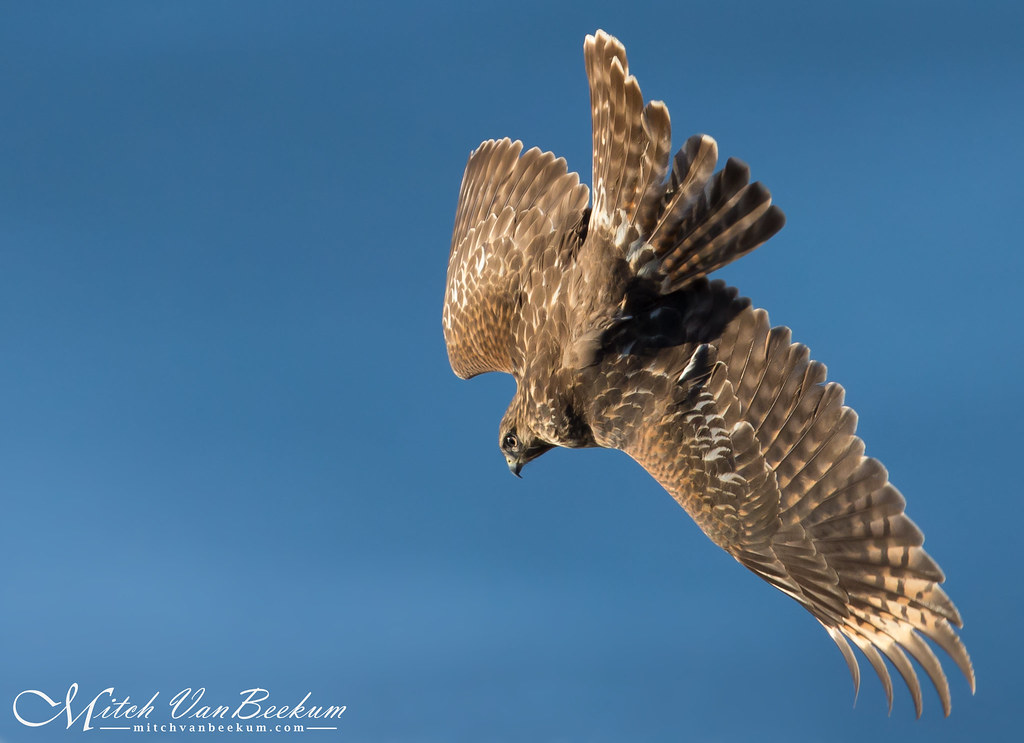 Red-shouldered Hawk In Dive Mode