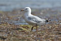 Silver Gull-Larus novaehollandiae (sigmundurasgeirsson) Tags: silvergull larusnovaehollandiae