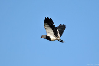 Queltehue / Southern lapwing (Vanellus chilensis)
