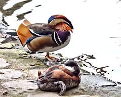 Schnheitsschlaf (diarnst) Tags: outdoor wasser water autumn herbst duck ente wasservogel waterbird gx8 zoo wuppertal germany