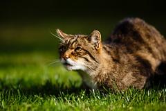 IMG_1636 (TvdMost) Tags: bwc britishwildlifecentre felissilvestris scottishwildcat wildcat wildekat