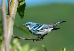 Cerulean Warbler (av8s) Tags: ceruleanwarbler warbler songbirds perchingbirds birds wildlife nature photography nikon d7100 sigma 120400mm nescopeckstatepark pennsylvania pa