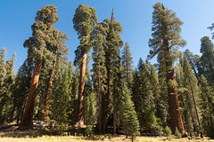 DSC_9282 (Omar Rodriguez Suarez) Tags: sequoianp sequoia sequoias trees arboles bosque forest