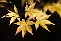 Autumn gold (Niquinho) Tags: autumngold maple leaves winkworth