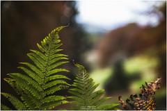Fern (Jistfoties) Tags: dawyckgardens autumn scottishborders botanicgardens landscape canon5d canon24105f4
