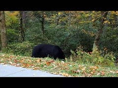 Black Bear-Smokey Mountains (Irina1010 - out) Tags: bear blackbear feasting mountains smokymountains october nature mammal canon oana clip video