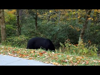 Black Bear-Smokey Mountains