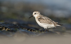 Sanderling (Wouter's Wildlife Photography) Tags: sandeling calidrisalba shorebird bird nature wildlife animal wader coast vlieland explore