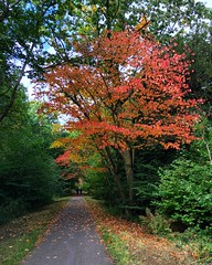Autumn Has Arrived (Marc Sayce) Tags: autumn fall automne autunno otoño outono hösten høst herbst syksy efteråret alice holt forest shipwrights way bentley station wild cherry prunus avium colours south downs national park