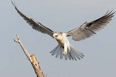 White-tailed Kite is bringing vole in ... (X6A_4568-1) (Eric SF) Tags: whitetailedkite kite raptor coyotehillsregionalpark fremont california ebparksok vole ebparks