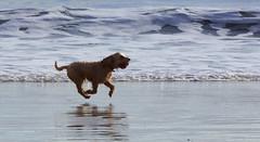 Fetch! (SteveJM2009) Tags: dog ball fetch running beach branksome poole dorset uk november 2016 stevemaskell