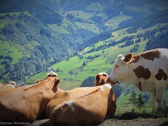 Cow with a view (katrienberckmoes) Tags: alps cow beautiful view valley landscape rauris austria summertime
