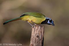 Green Jay (karenmelody) Tags: animal animals bird birds corvid corvidae corvids cyanocoraxyncas greenjay jays passeriformes vertebrate vertebrates passerine passerines perchingbirds