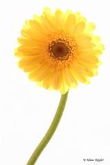 Gelbe Blüten (Klaus R. aus O.) Tags: gelbeblume blüte freigestellt makro canon 650dgelb hell grün stengel pflanze zierpflanze schnittblume