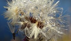 "Sparkling ""diamonds"" for you! (peggyhr) Tags: peggyhr seedhead dandelion droplets bokeh white dsc07068ab bluebirdestates alberta canada macro thegoldenflower"