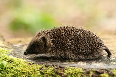 Hedgehog (Erinaceidae) and fly. (Sandra Standbridge.) Tags: hedgehog erinaceidae animal mammal walking wildandfree outdoor youngster