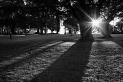 Park setting (OzzRod) Tags: pentaxk1 smcpentaxfa43mmf19 monochrome blackandwhite intothesun flare sunburst ashfield