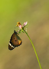 Plain Tiger and Wild Cosmos Waltzing in Air (Robert-Ang) Tags: butterfly plaintiger chinesegarden singapore nature wildlife cosmos flower plant green