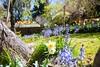 _MG_3677 (TobiasW.) Tags: spring frühling fruehling garden gardenflowers gartenblumen gärten garten blue mountains nsw australien australia backyard public
